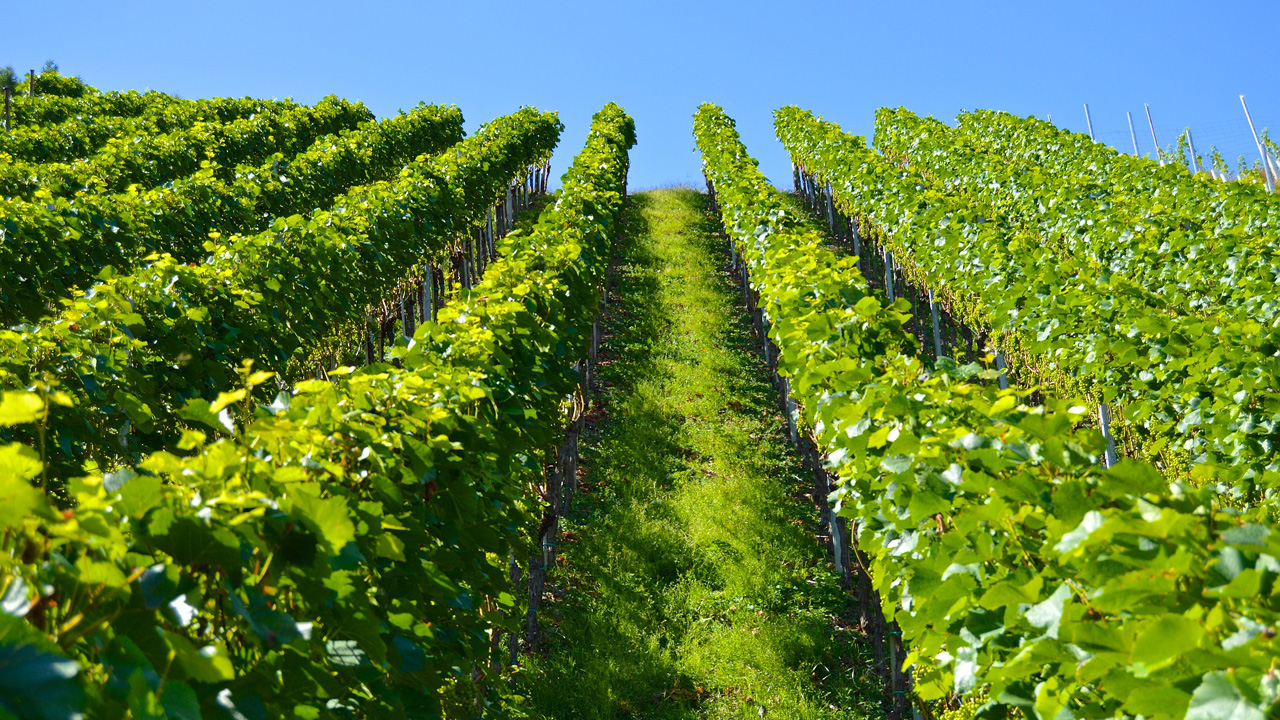 Vines in Touraine, wine of Chinon, Saumur, Bourgueil and Vouvray